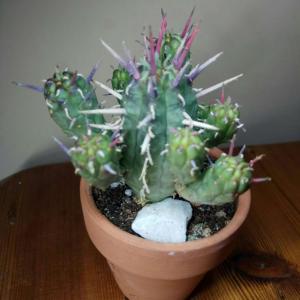 Euphorbia ferox (?) onerror=