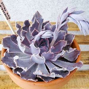 Echeveria cv. pink frill's onerror=