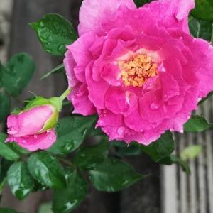 Sheherezade rose onerror=