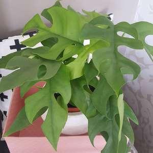 Philodendron Minima onerror=