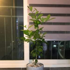 Lemontree onerror=