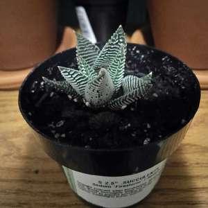 Zebra Plant onerror=