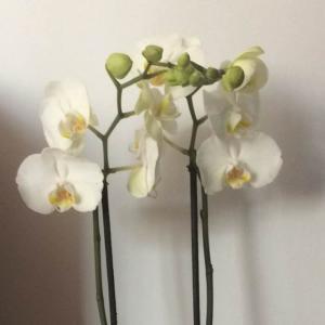 Orquídea onerror=