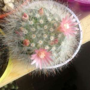 Mammillaria senilis onerror=