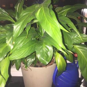 Fredskalla, spathiphyllum onerror=