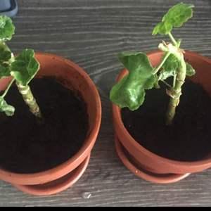 Pelargonium onerror=