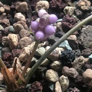 Anthurium sp Suriname onerror=