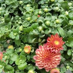 糖果菊混色    阳台上的新伙伴    带着很多花苞来啦     今年秋天也有花花看了 onerror=