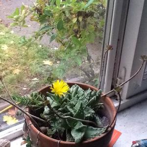 Tiger's Jaw (Faucaria Tigrina)  - Green Fingers(GFinger)Encyclopedia
