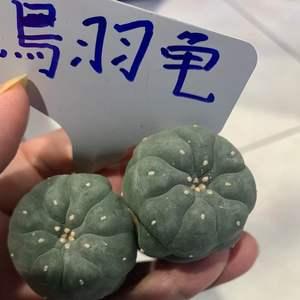 108/07/15 草四-烏羽龜 13 onerror=
