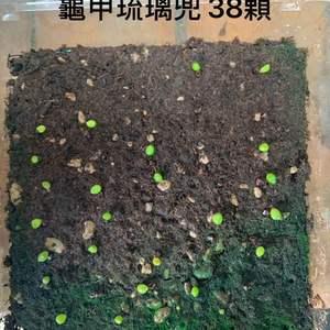 108/07/26  龜甲琉璃兜種子 onerror=