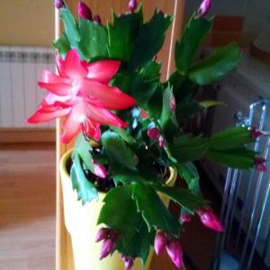 Schlumbergera (cactus de navidad) onerror=