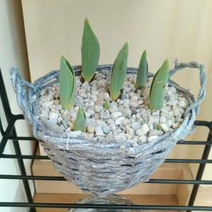 Bulbos tulipa onerror=