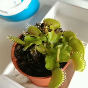 Carnivora (Dionaea muscipula) onerror=