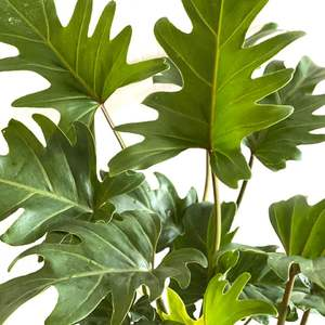 Philodendron Xanadu (Philodendron Winterbourne) onerror=