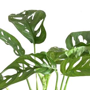 Monstera Adansonii onerror=