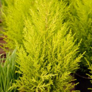 Lemon cypress onerror=