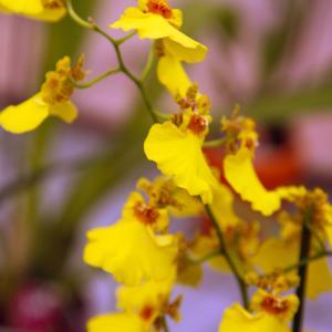 Dancing Ladies Orchid onerror=