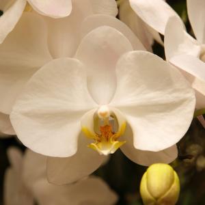 Aphrodite Orchid onerror=