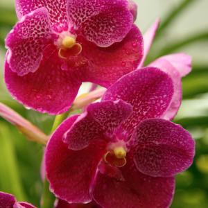 Monte Carlo Orchid onerror=