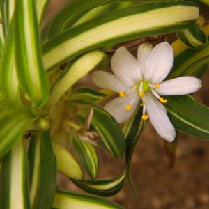 Spider plant onerror=