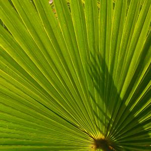 Mexican Fan Palm onerror=
