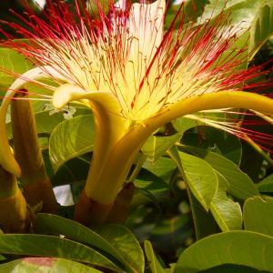 Guiana Chestnut onerror=