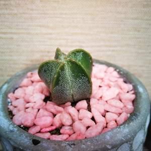 Astrophytum Myriostigma onerror=