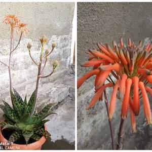 Aloe vera onerror=