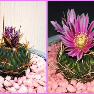 Echinofossulocactus Zacatecasensis onerror=