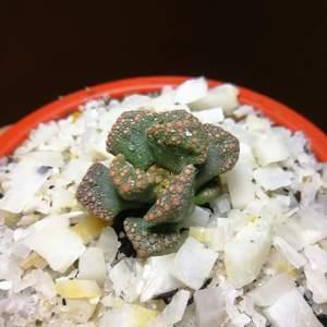Titanopsis calcarea onerror=