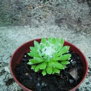 Sempervivum arachnoideum onerror=