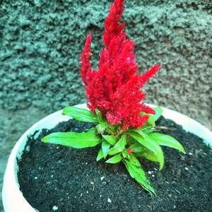 Celosia plumosa onerror=