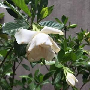 Jazmin o gardenia augusta onerror=