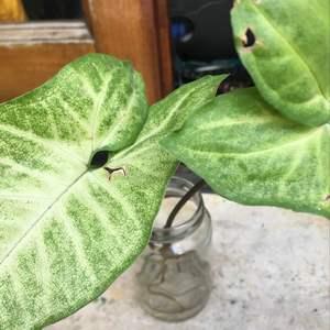 Syngonium araceae onerror=