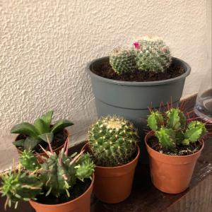 Cactus onerror=