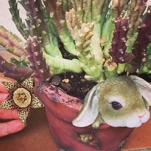 Stapelia variegata - Flor de lagarto onerror=
