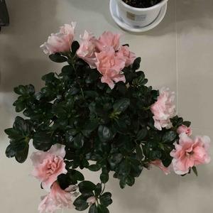 观花型-杜鹃(花彩师杜鹃专用土)