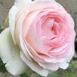 法国玫兰--粉色龙沙宝石