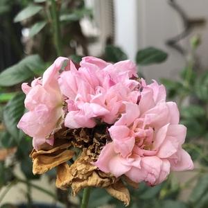 夏天来了 什么奇葩的月季都有了……这货开完花还不死心在花上又开起一串小花🌸