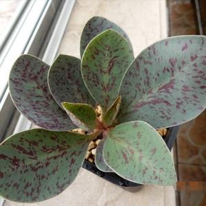 """我新添加了一棵""""Euphorbia khandallensis 汉氏麒麟1""""到我的""""花园"""""""