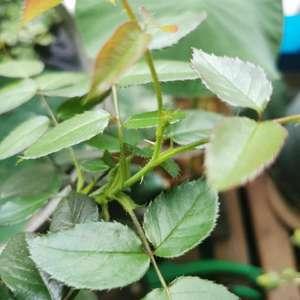波莱罗有个小花苞了,压枝促笋中,应该掐掉的,但是好不舍得啊,天气热了可能这朵掐了后面很长时间都看不到花了😂