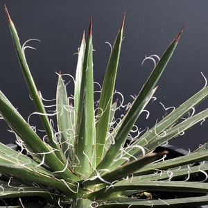 The Agave Schidigera is a stunning succulent with a single rosette of slender spiky leaves that is dark green with conspicuous white swirly hairs on the leaf margins. Slow growing and not a difficult one to care for.