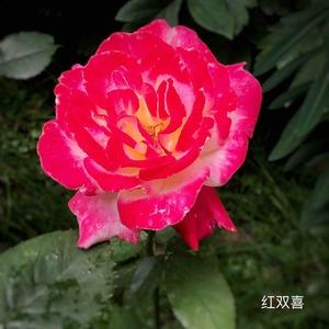 去年扦插的小苗,今年年初地栽,第二朵花,初开红色比较柔和,越展开越红艳。