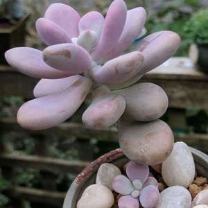 桃之卵,Graptopetalum amethystinum