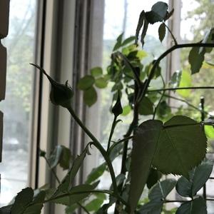 花苞们已经出来了~希望能有点儿花柱的feel~