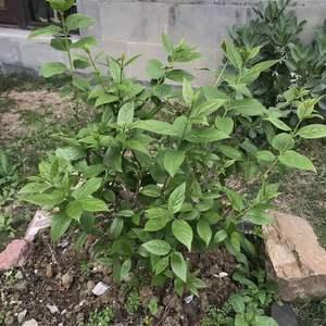 金桔的芽刚刚出来,比石榴都晚。