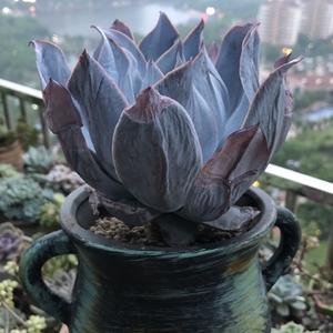 广寒宫200425(16.9)多肉植物