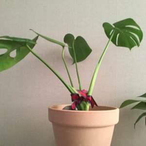 """제가 새로운 식물 """"몬스테라""""한 그루를 나의 """"화원""""에 옴겼어요."""