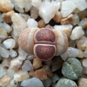 番杏科  石生花